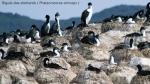 Biguá das Shetlands