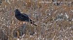 Gavião cinzento fêmea