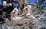 Cabeças-secas - filhotes